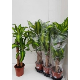 DRACENA MASSAGEANA M19 ALT100