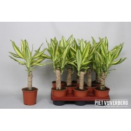 DRACENA YELLOW M11 1 TRONCO