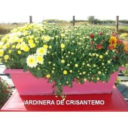 CRISANTEMO JARDINERA